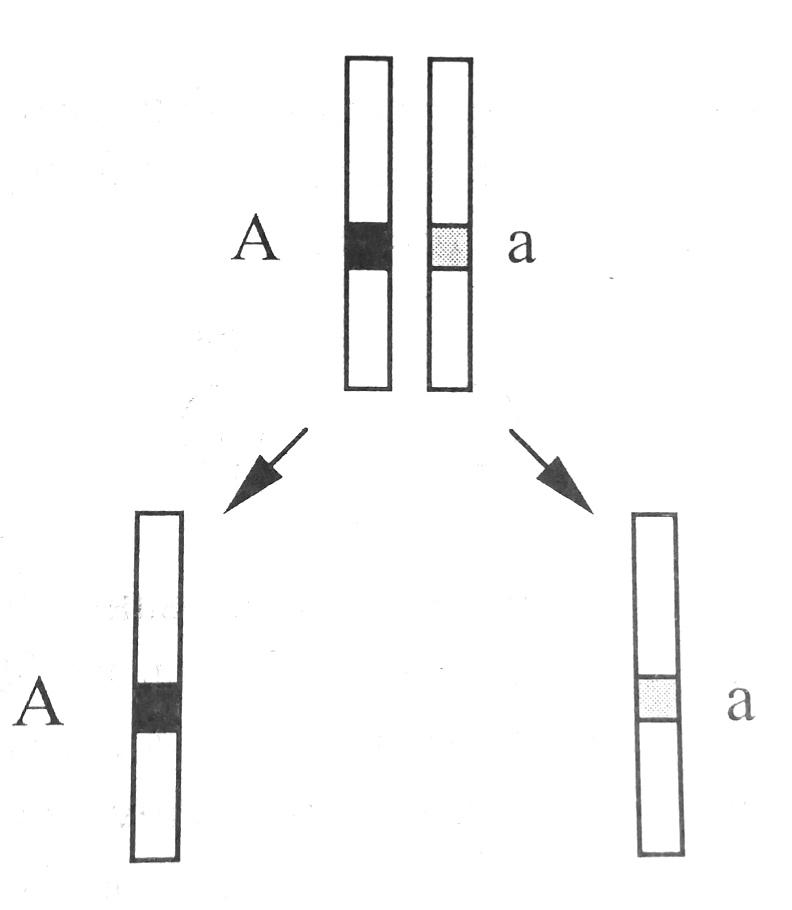 Мейозное расхождение хромосом
