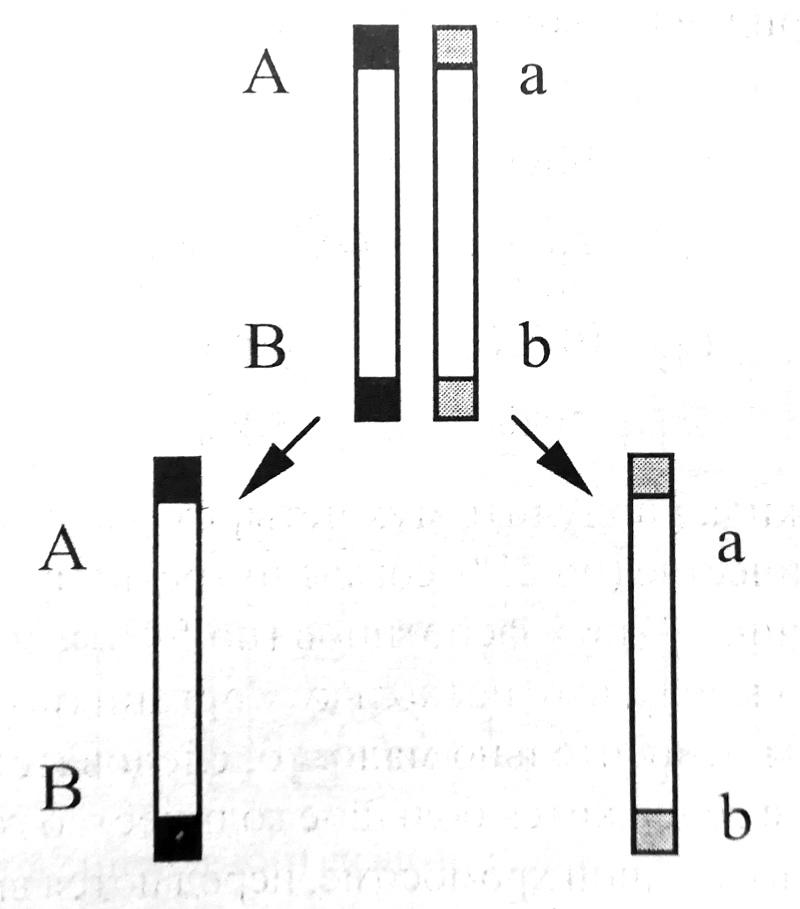 Расхождение хромосом в мейозе при полном сцеплении