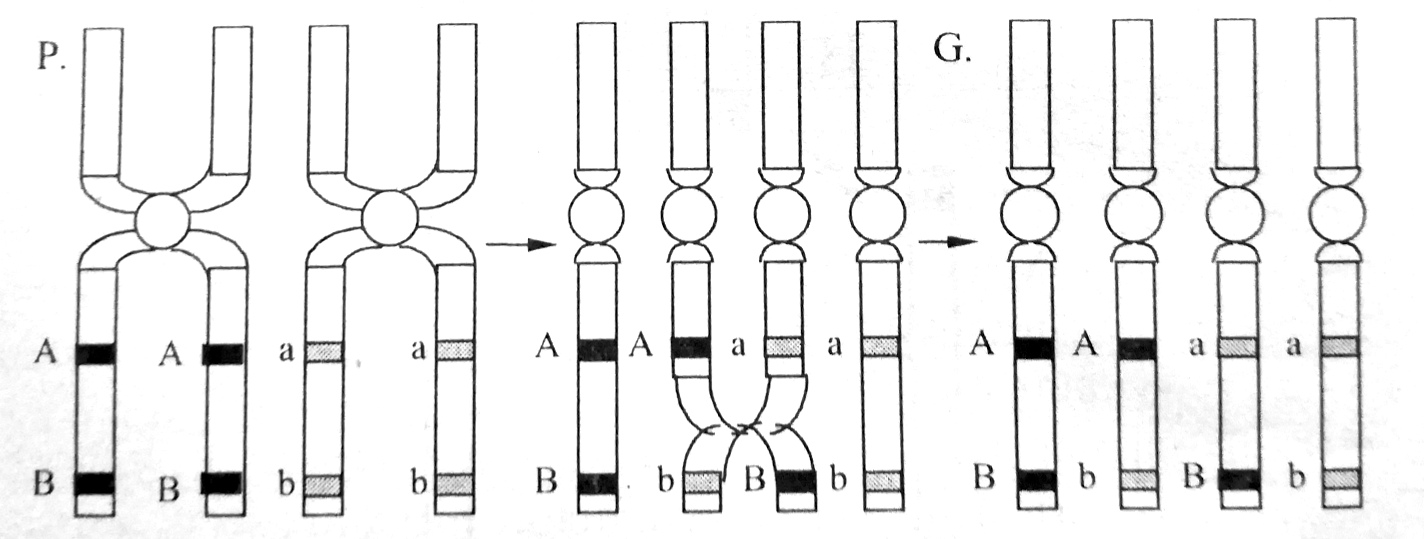 Схема кроссинговера