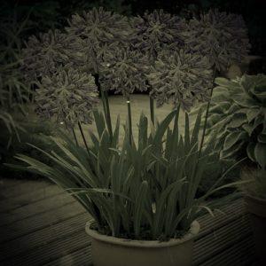 Размножение Африканской лилии