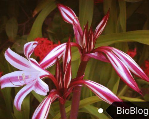 Кринум как декоративное вечнозеленое растение