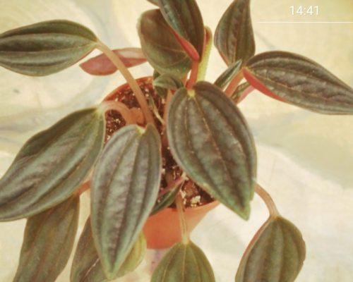Пеперомия как растение Южной Америки