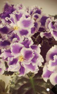 Узамбарская фиалка или сенполия фиалкоцветная