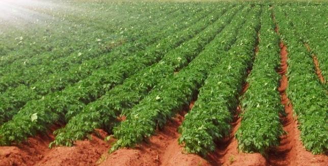 Подготовка участка картофеля к посадке