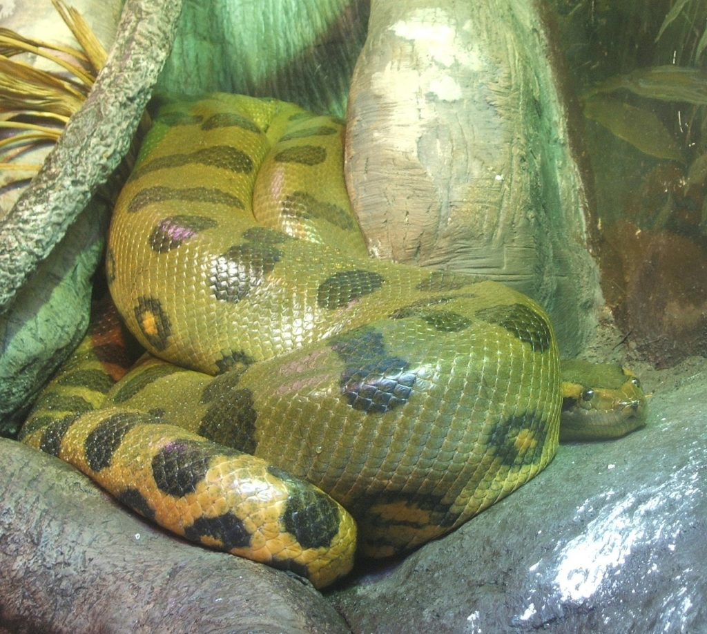 Зеленая анаконда в террариуме
