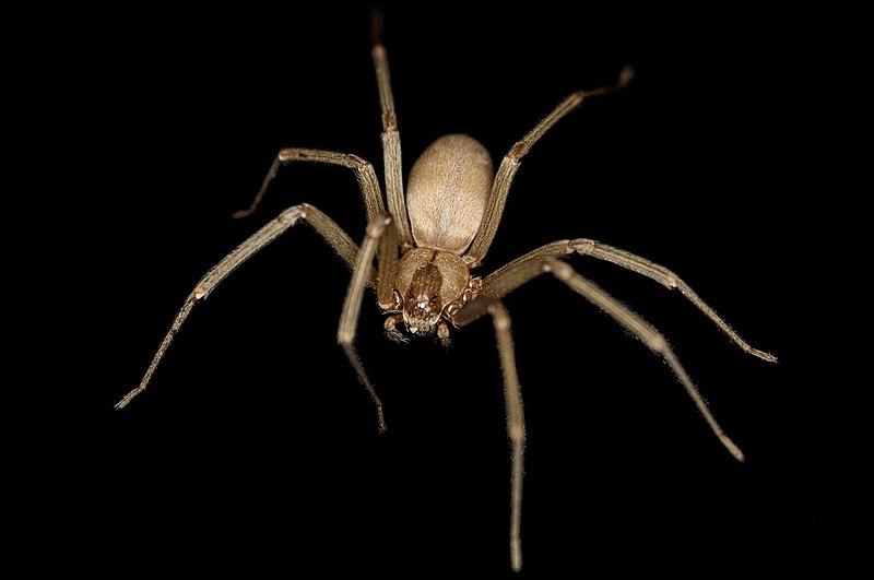 это самый пауки отшельники картинки связи участившимися случаями