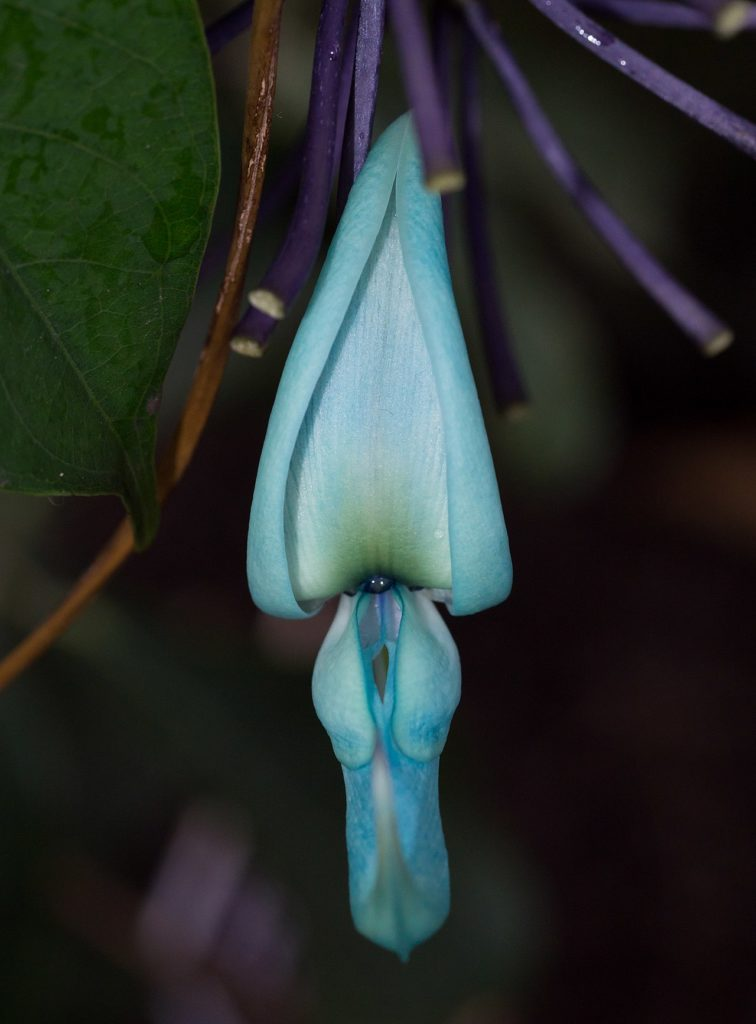 Цветок нефритовой лозы