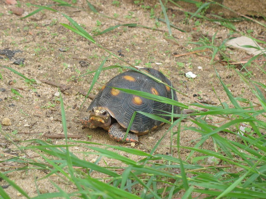 Угольная черепаха на земле