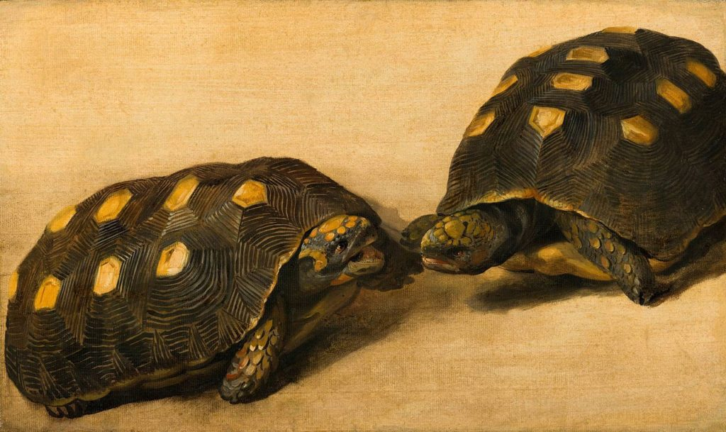 Две красноногие черепахи