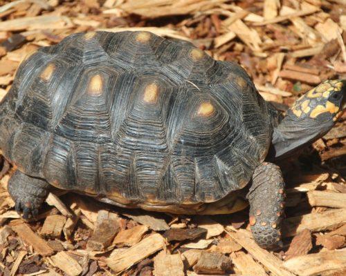 Угольная черепаха как обитатель Южной Америки