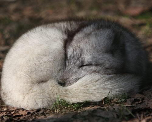 Песец как животное полярного региона