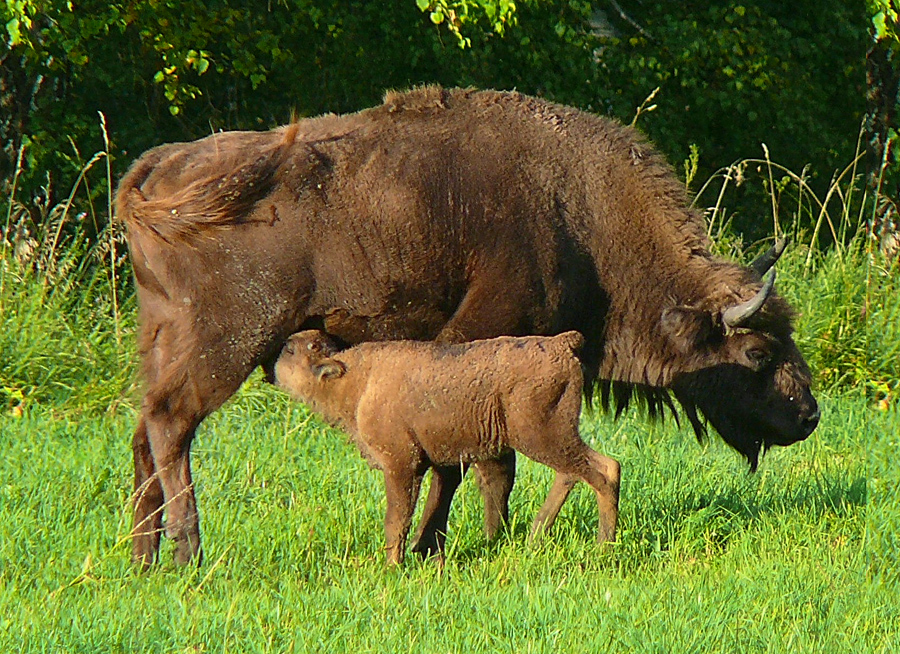 Зубр как представитель рода бизонов