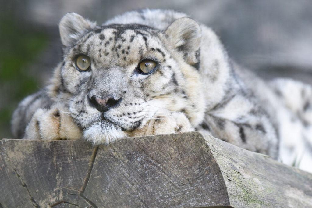 Ирбис в японском зоопарке