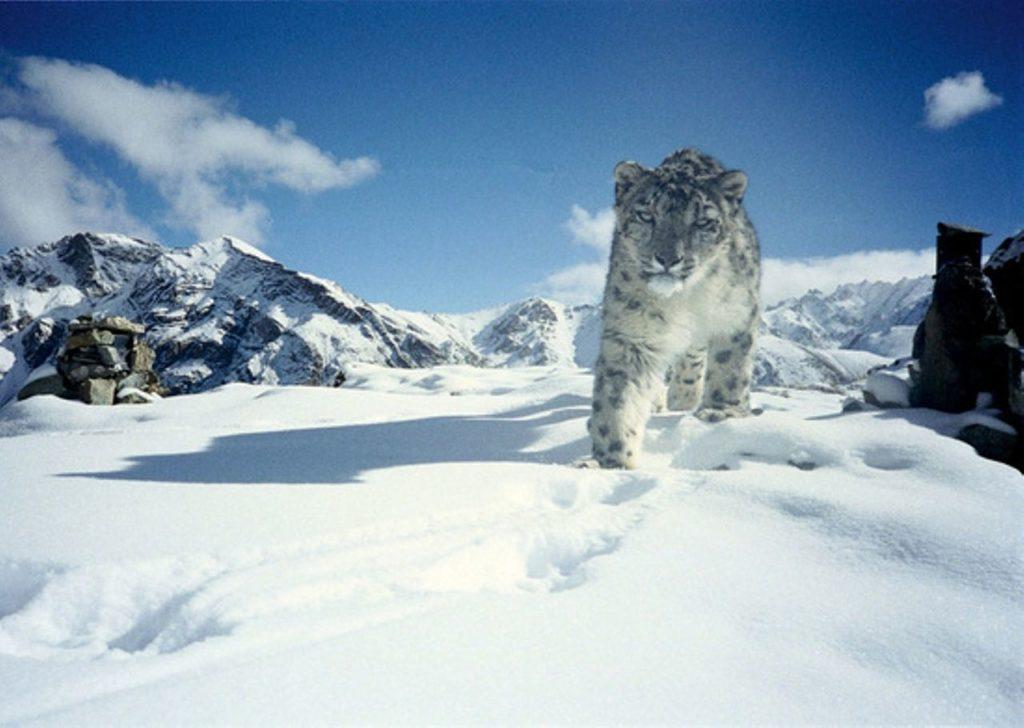 Ирбис или Снежный барс как представитель семейства кошачих