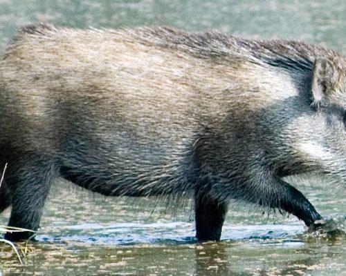 Кабан как представитель млекопитающих Евразии