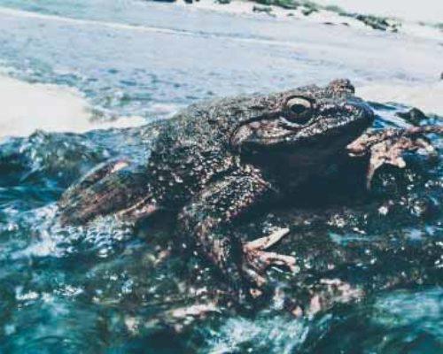 Лягушка голиаф как самая крупная лягушка в мире