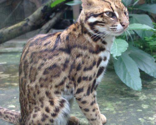 Бенгальская кошка как первая из прирученных человеком