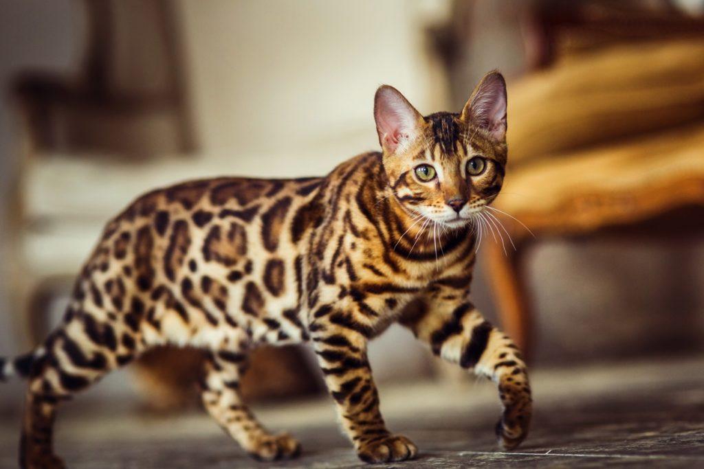 Описание бенгальской кошки