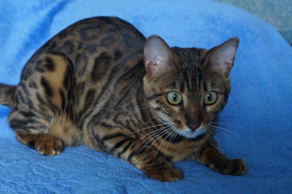 Поведение бенгальской кошки