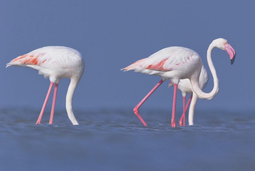 Обыкновенный фламинго