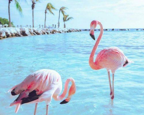 Розовый или Обыкновенный фламинго как самый крупный из представителей своего вида
