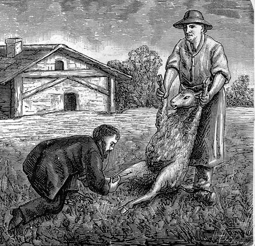 Луи Пастер прививает животных от сибирской язвы